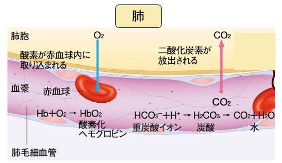 肺での酸素と二酸化炭素