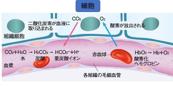 酸素と二酸化炭素を運ぶ血液